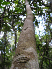 Picture of Maytenus distichophylla tree trunk
