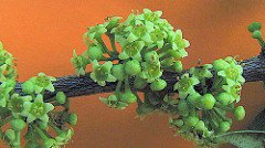 Picture of Maytenus obtusifolia flowers on branch