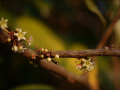 Picture of Maytenus rothiana flowers on branch