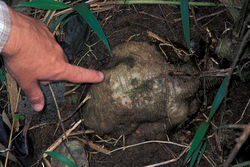 Picture of Kudzu root
