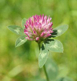 Picture of red Clover