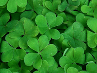 Picture of clover leaves