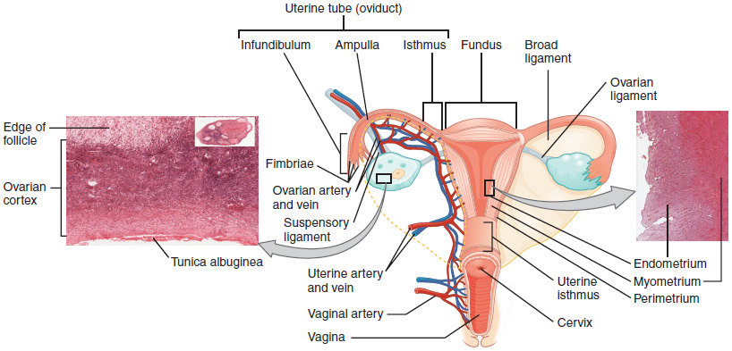 diagram of reproductive tract