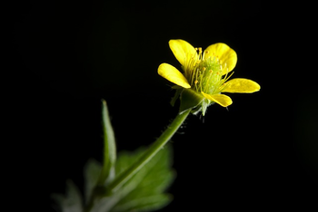 Picture of evening primrose flower