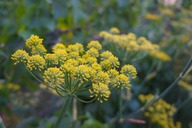 Image of fennel flowers
