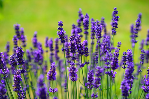 Picture of lavender flowers