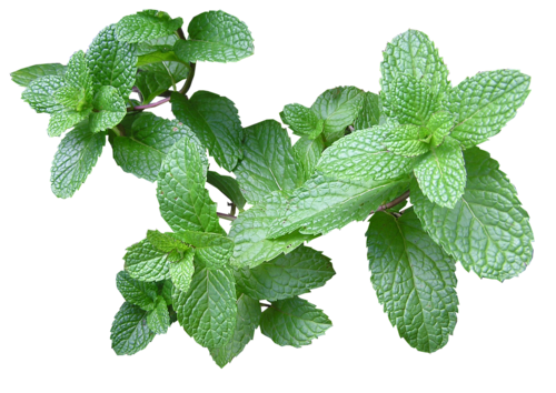 Mint - Breast Enhancement | Breast is